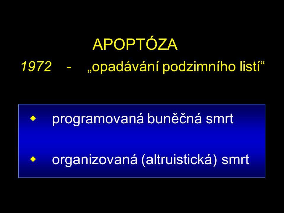 """APOPTÓZA  programovaná buněčná smrt  organizovaná (altruistická) smrt 1972 - """"opadávání podzimního listí"""""""
