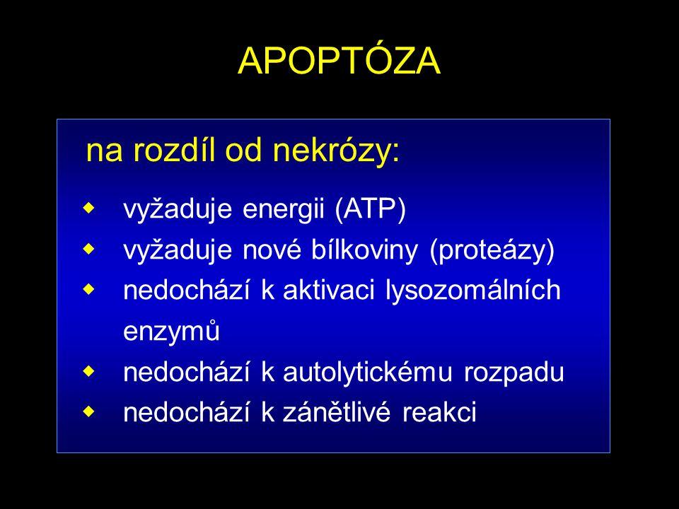 APOPTÓZA  vyžaduje energii (ATP)  vyžaduje nové bílkoviny (proteázy)  nedochází k aktivaci lysozomálních enzymů  nedochází k autolytickému rozpadu