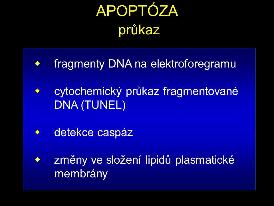 APOPTÓZA průkaz  fragmenty DNA na elektroforegramu  cytochemický průkaz fragmentované DNA (TUNEL)  detekce caspáz  změny ve složení lipidů plasmat
