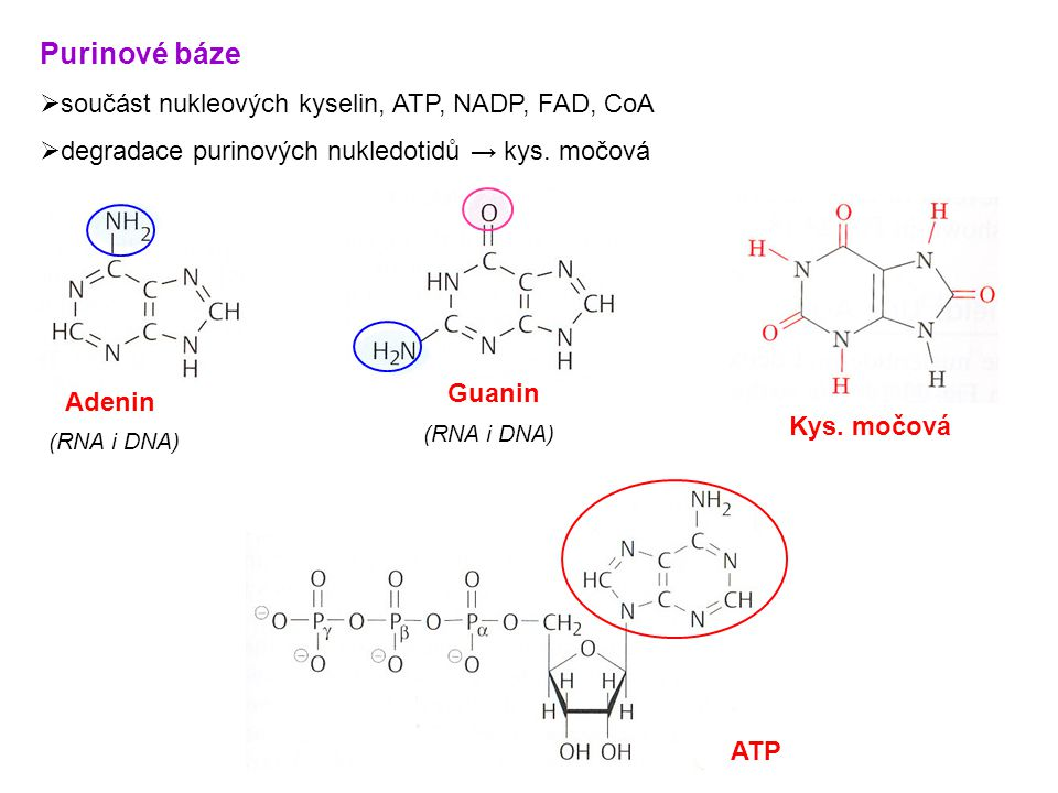 Purinové báze  součást nukleových kyselin, ATP, NADP, FAD, CoA  degradace purinových nukledotidů → kys.