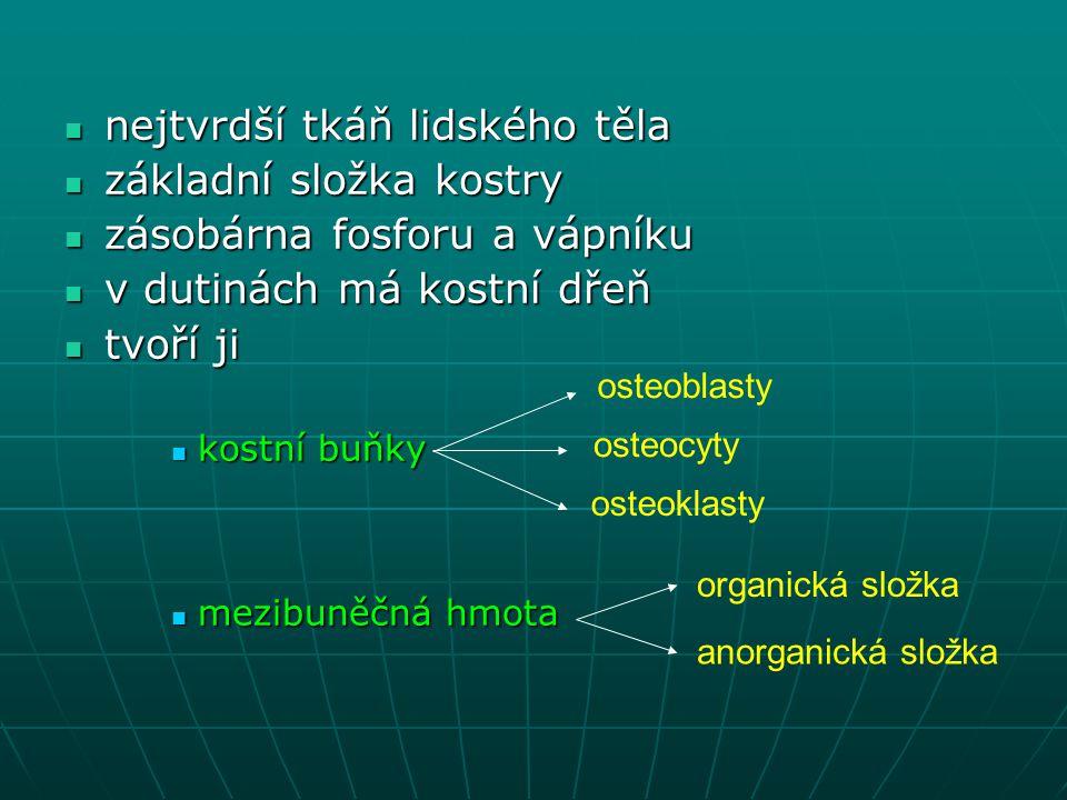 nejtvrdší tkáň lidského těla nejtvrdší tkáň lidského těla základní složka kostry základní složka kostry zásobárna fosforu a vápníku zásobárna fosforu