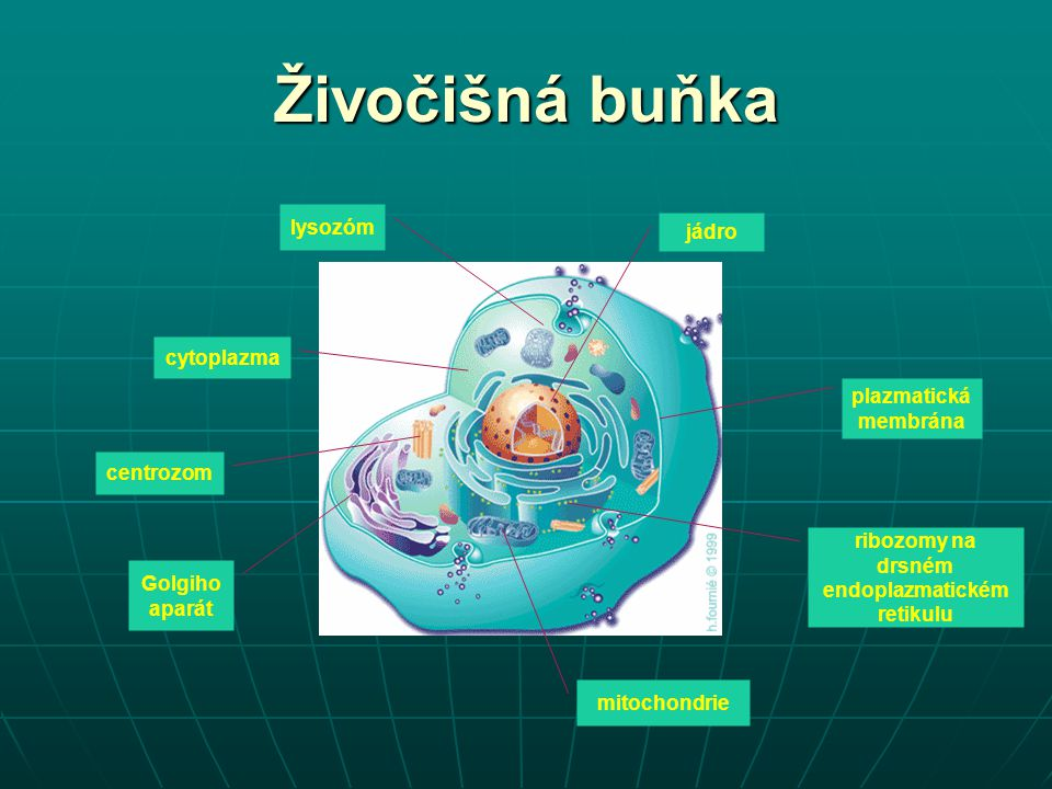 Živočišná tkáň soubor buněk přibližně stejného tvaru, stejného původu, se stejnou hlavní funkcí soubor buněk přibližně stejného tvaru, stejného původu, se stejnou hlavní funkcí jejich studiem se zabývá histologie jejich studiem se zabývá histologie druhy živočišných tkání druhy živočišných tkání epitely epitely pojiva pojiva svalová tkáň svalová tkáň nervová tkáň nervová tkáň tělní tekutiny tělní tekutiny
