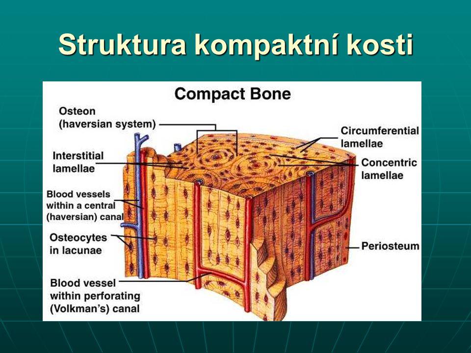 Struktura kompaktní kosti
