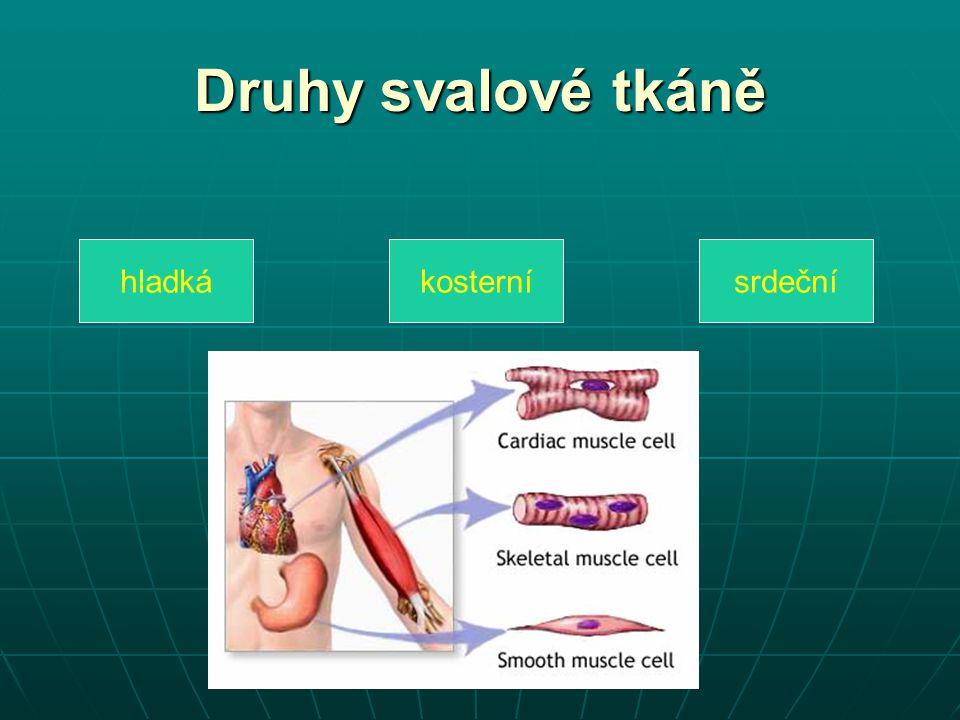 Druhy svalové tkáně hladkákosternísrdeční