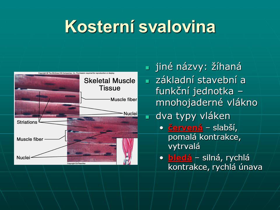 Kosterní svalovina jiné názvy: žíhaná jiné názvy: žíhaná základní stavební a funkční jednotka – mnohojaderné vlákno základní stavební a funkční jednot
