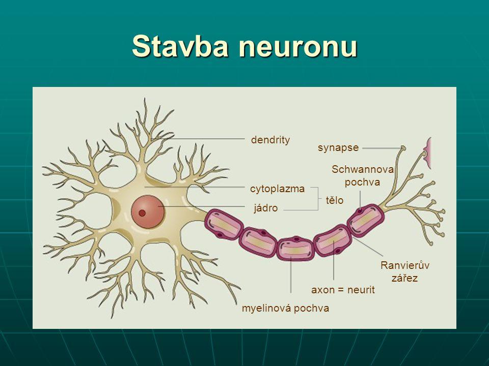 dendrity axon = neurit jádro cytoplazma synapse myelinová pochva Schwannova pochva Stavba neuronu tělo Ranvierův zářez