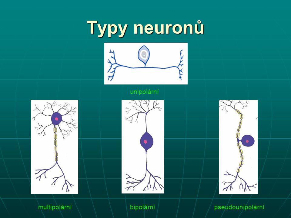 Typy neuronů unipolární bipolárnímultipolárnípseudounipolární