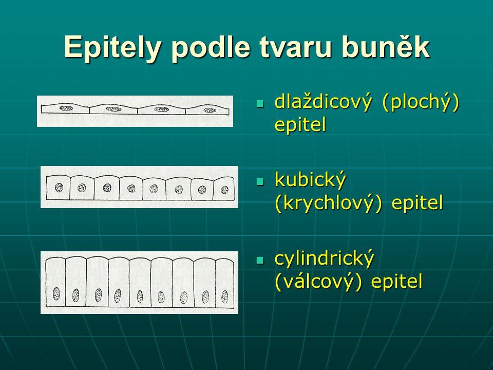 Epitely podle tvaru buněk dlaždicový (plochý) epitel dlaždicový (plochý) epitel kubický (krychlový) epitel kubický (krychlový) epitel cylindrický (vál