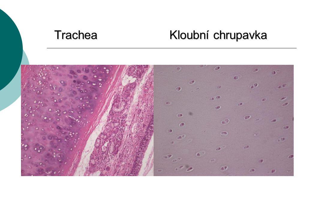 TracheaKloubní chrupavka