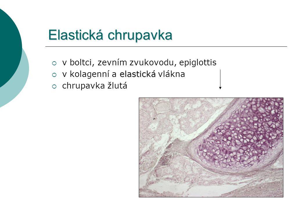 Elastická chrupavka  v boltci, zevním zvukovodu, epiglottis elastická  v kolagenní a elastická vlákna  chrupavka žlutá