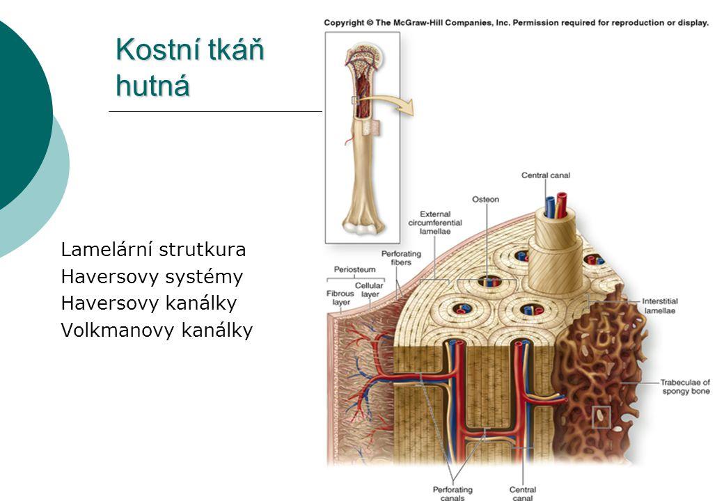 Kostní tkáň hutná Lamelární strutkura Haversovy systémy Haversovy kanálky Volkmanovy kanálky