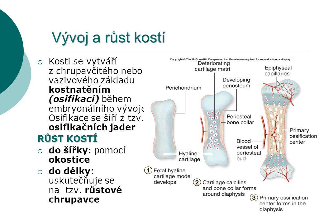 Vývoj a růst kostí  Kosti se vytváří z chrupavčitého nebo vazivového základu kostnatěním (osifikací) během embryonálního vývoje. Osifikace se šíří z