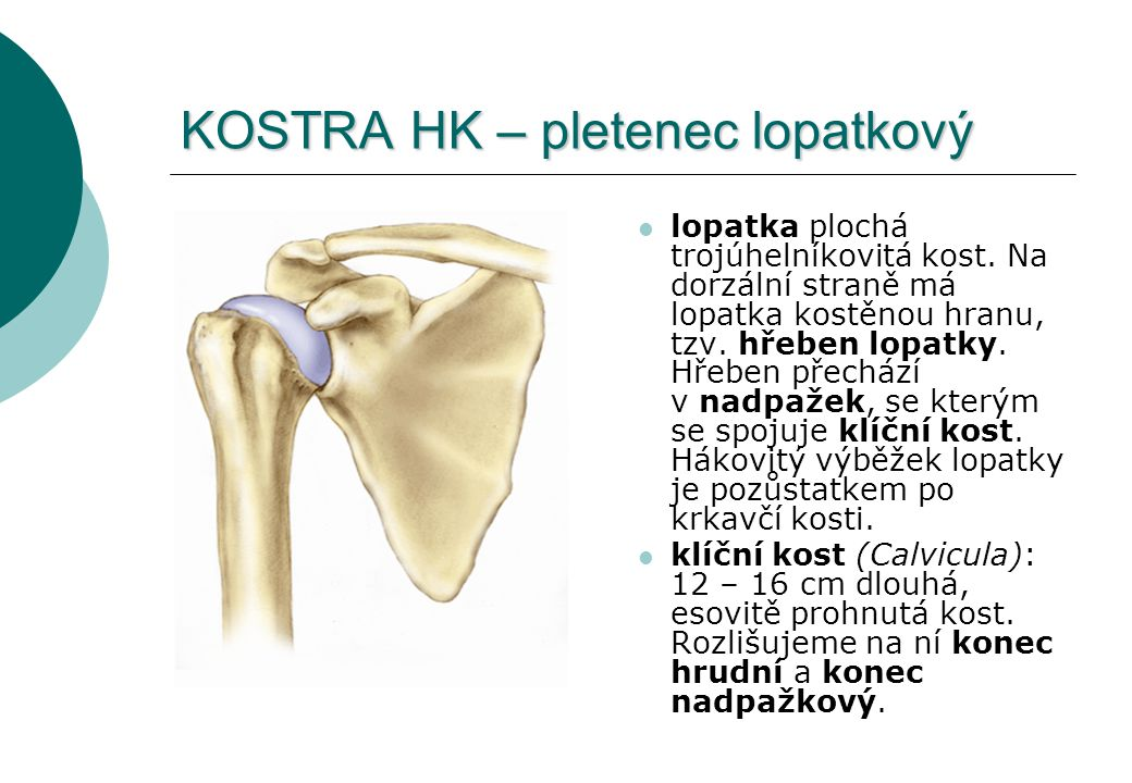 KOSTRA HK – pletenec lopatkový lopatka plochá trojúhelníkovitá kost. Na dorzální straně má lopatka kostěnou hranu, tzv. hřeben lopatky. Hřeben přecház