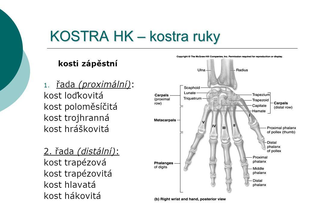 KOSTRA HK – kostra ruky kosti zápěstní 1. řada (proximální): kost loďkovitá kost poloměsíčitá kost trojhranná kost hráškovitá 2. řada (distální): kost