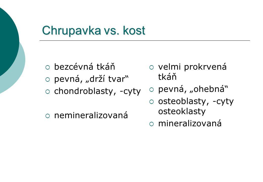 """Chrupavka vs. kost  bezcévná tkáň  pevná, """"drží tvar""""  chondroblasty, -cyty  nemineralizovaná  velmi prokrvená tkáň  pevná, """"ohebná""""  osteoblas"""