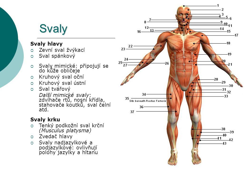 Svaly Svaly hlavy  Zevní sval žvýkací  Sval spánkový  Svaly mimické: připojují se do kůže obličeje  Kruhový sval oční  Kruhový sval ústní  Sval