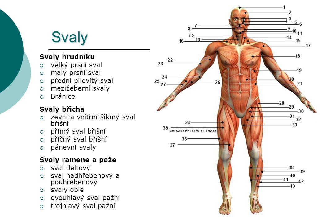 Svaly Svaly hrudníku  velký prsní sval  malý prsní sval  přední pilovitý sval  mezižeberní svaly  Bránice Svaly břicha  zevní a vnitřní šikmý sv