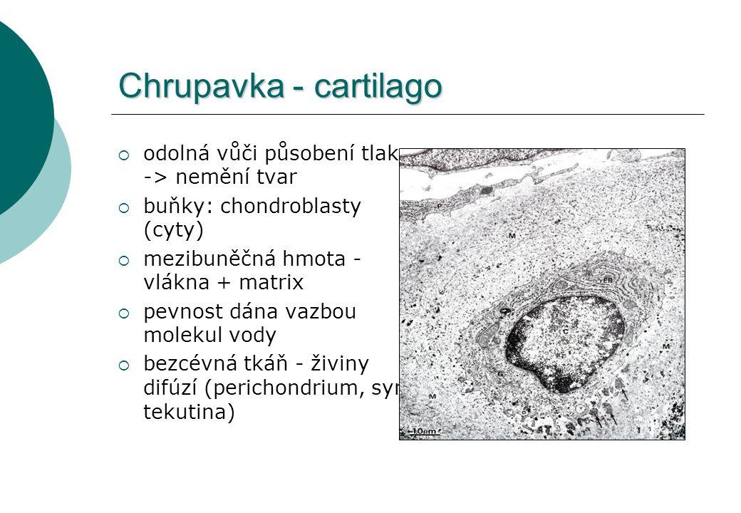 Chrupavka - cartilago  odolná vůči působení tlaku -> nemění tvar  buňky: chondroblasty (cyty)  mezibuněčná hmota - vlákna + matrix  pevnost dána v