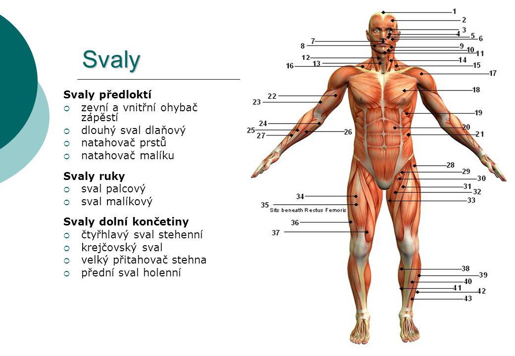 Svaly Svaly předloktí  zevní a vnitřní ohybač zápěstí  dlouhý sval dlaňový  natahovač prstů  natahovač malíku Svaly ruky  sval palcový  sval mal