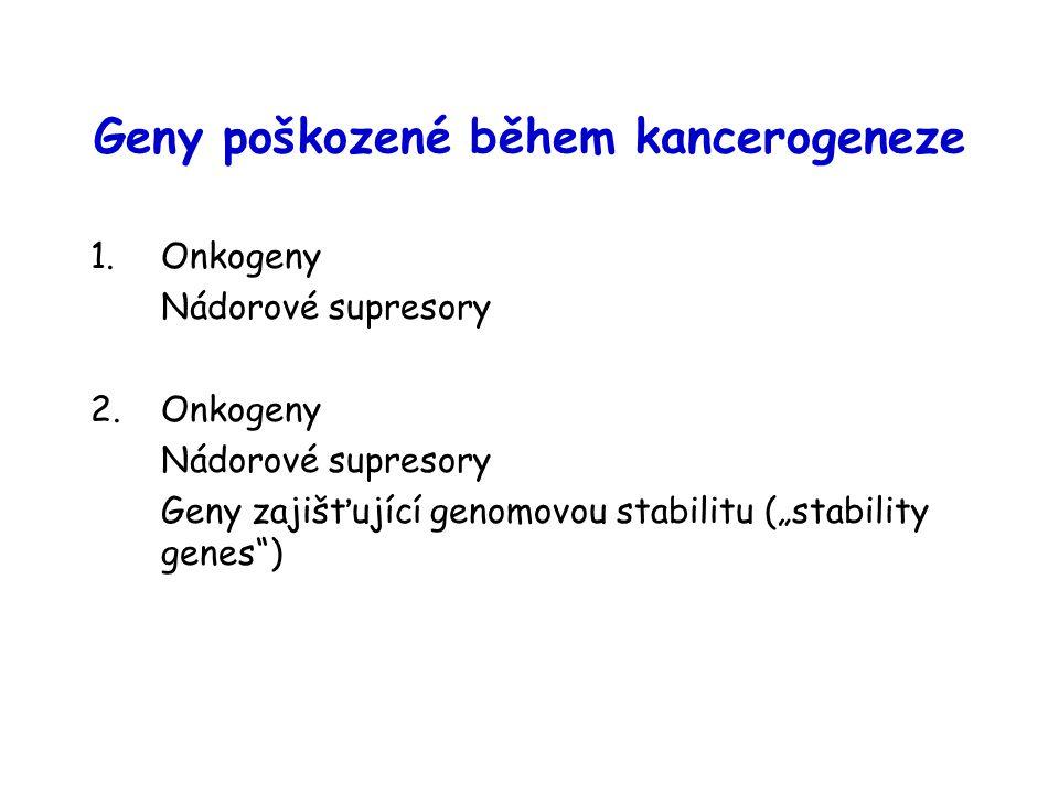 """Geny poškozené během kancerogeneze 1.Onkogeny Nádorové supresory 2.Onkogeny Nádorové supresory Geny zajišťující genomovou stabilitu (""""stability genes )"""