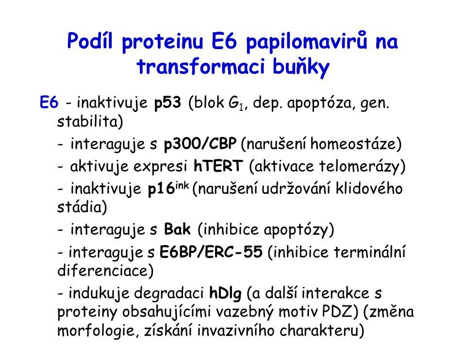 Podíl proteinu E6 papilomavirů na transformaci buňky E6 - inaktivuje p53 (blok G 1, dep. apoptóza, gen. stabilita) - interaguje s p300/CBP (narušení h