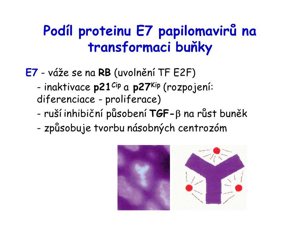 Podíl proteinu E7 papilomavirů na transformaci buňky E7 - váže se na RB (uvolnění TF E2F) - inaktivace p21 Cip a p27 Kip (rozpojení: diferenciace - proliferace) - ruší inhibiční působení TGF-  na růst buněk - způsobuje tvorbu násobných centrozóm
