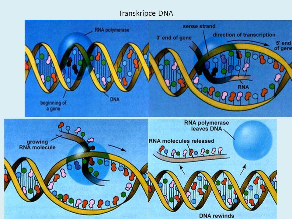 Transkripce DNA