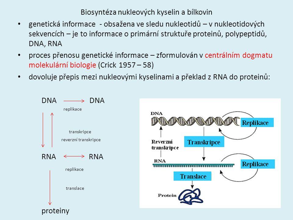 Biosyntéza nukleových kyselin a bílkovin genetická informace - obsažena ve sledu nukleotidů – v nukleotidových sekvencích – je to informace o primární