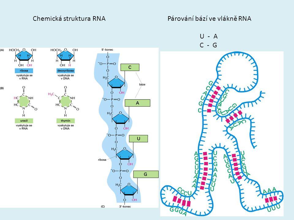 Chemická struktura RNA Párování bází ve vlákně RNA U - A C - G