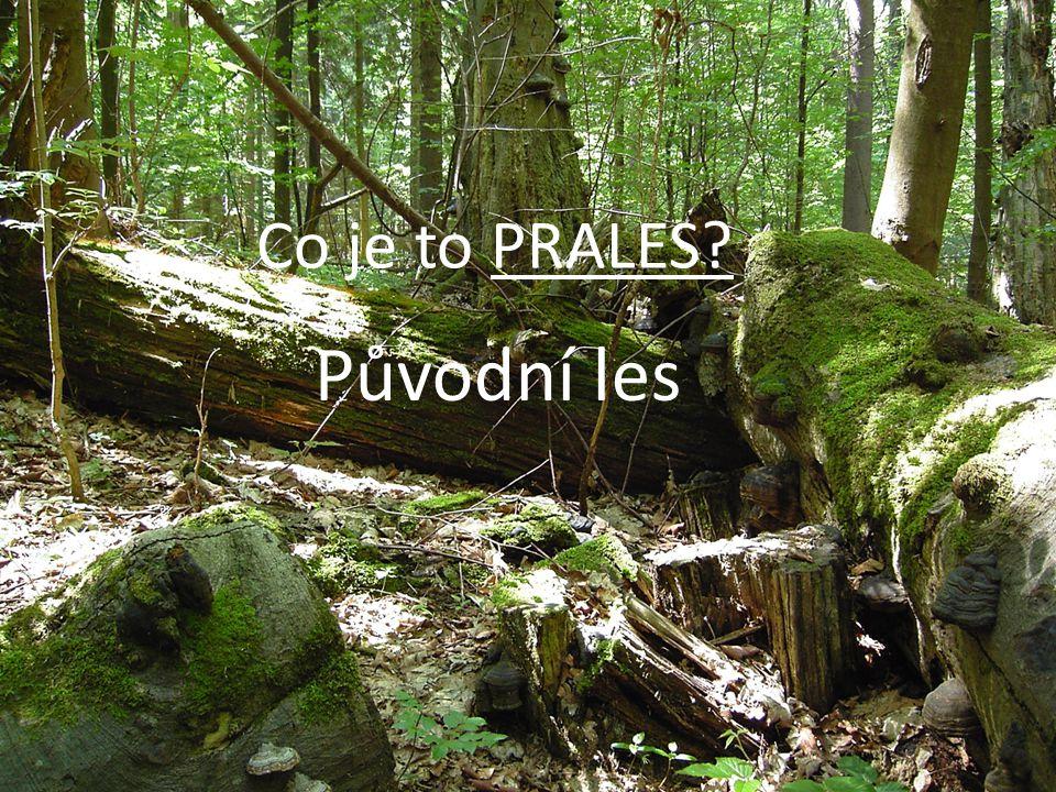 Co je to PRALES? Původní les