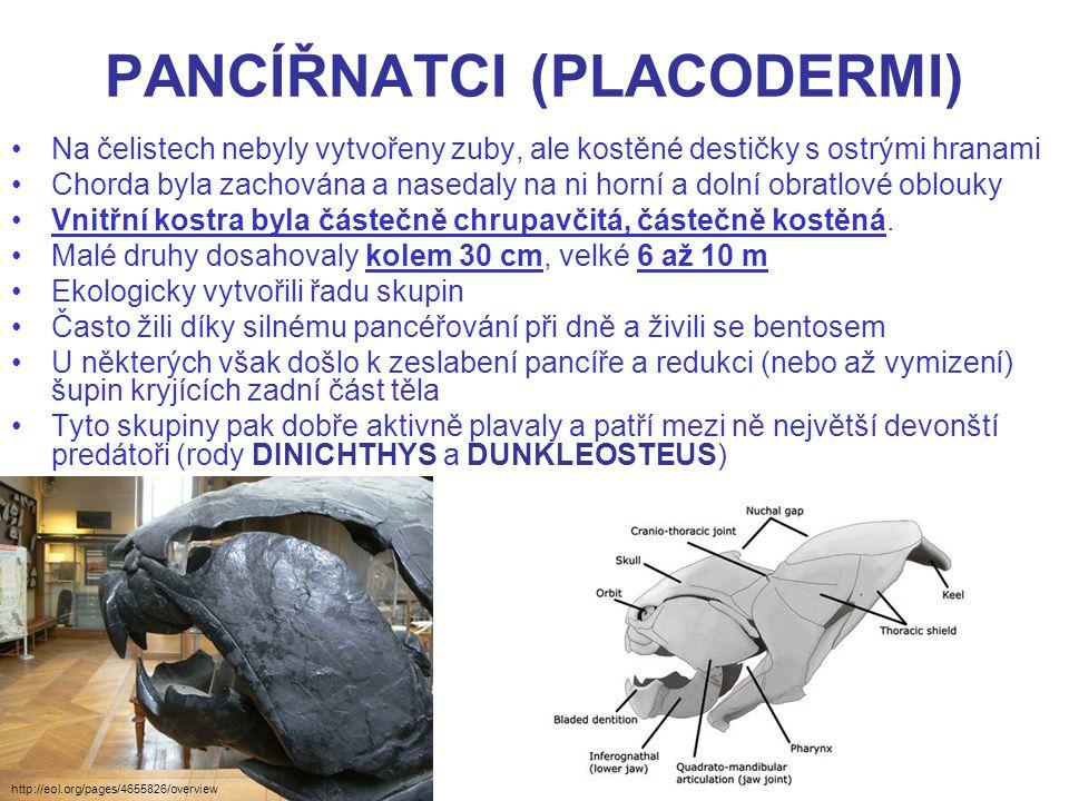 PANCÍŘNATCI (PLACODERMI) Na čelistech nebyly vytvořeny zuby, ale kostěné destičky s ostrými hranami Chorda byla zachována a nasedaly na ni horní a dol