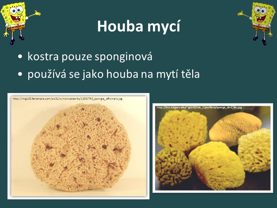 Houba mycí kostra pouze sponginová používá se jako houba na mytí těla http://bio.rutgers.edu/~gb102/lab_1/porifera/sponge_div1_du.jpg http://img103.fa