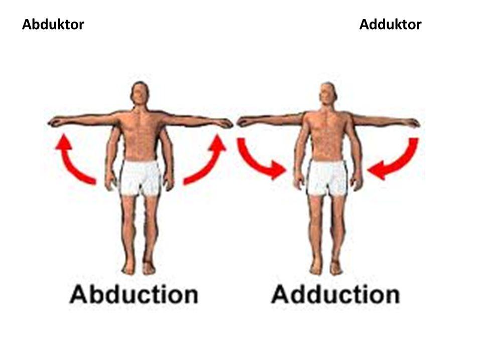 AbduktorAdduktor
