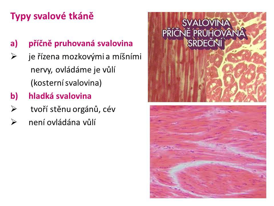 Typy svalové tkáně a)příčně pruhovaná svalovina  je řízena mozkovými a míšními nervy, ovládáme je vůlí (kosterní svalovina) b)hladká svalovina  tvoří stěnu orgánů, cév  není ovládána vůlí
