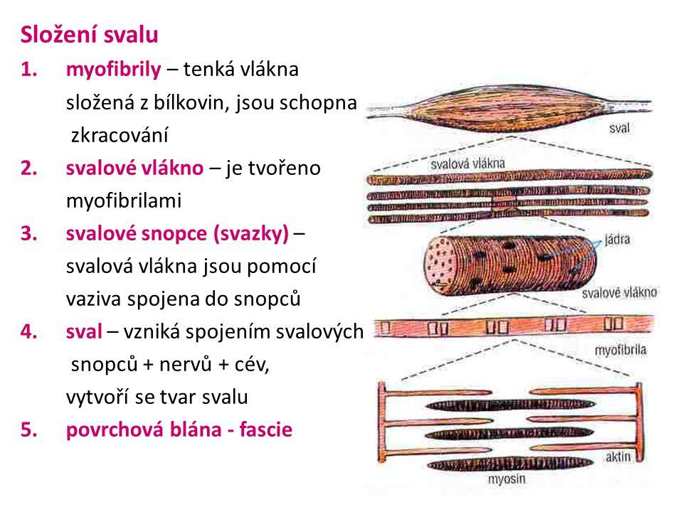 Složení svalu 1.myofibrily – tenká vlákna složená z bílkovin, jsou schopna zkracování 2.svalové vlákno – je tvořeno myofibrilami 3.svalové snopce (svazky) – svalová vlákna jsou pomocí vaziva spojena do snopců 4.sval – vzniká spojením svalových snopců + nervů + cév, vytvoří se tvar svalu 5.povrchová blána - fascie