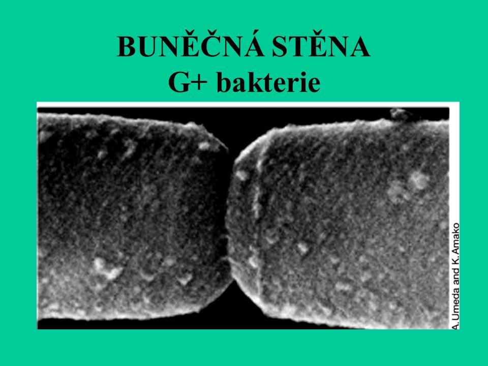 BUNĚČNÁ STĚNA G+ bakterie