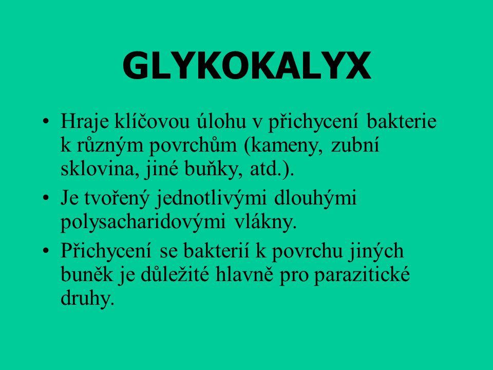 GLYKOKALYX Hraje klíčovou úlohu v přichycení bakterie k různým povrchům (kameny, zubní sklovina, jiné buňky, atd.). Je tvořený jednotlivými dlouhými p