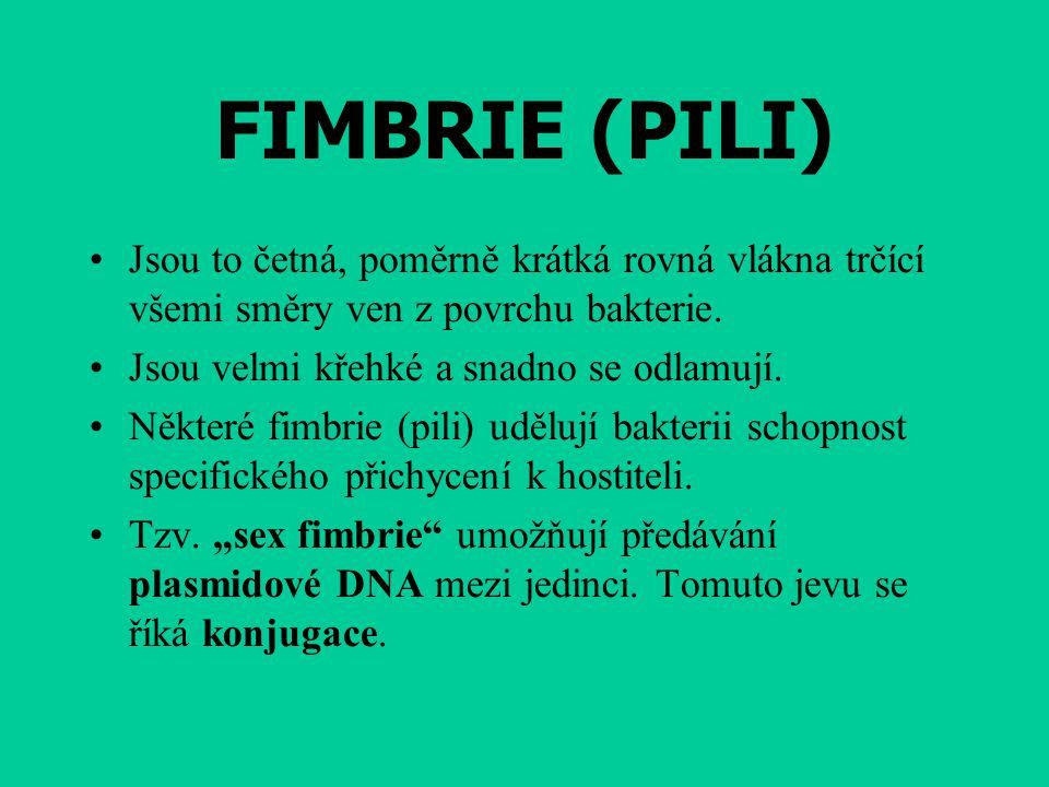 FIMBRIE (PILI) Jsou to četná, poměrně krátká rovná vlákna trčící všemi směry ven z povrchu bakterie. Jsou velmi křehké a snadno se odlamují. Některé