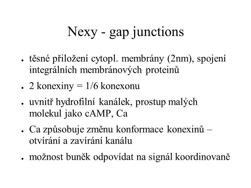 Nexy - gap junctions ● těsné přiložení cytopl. membrány (2nm), spojení integrálních membránových proteinů ● 2 konexiny = 1/6 konexonu ● uvnitř hydrofi