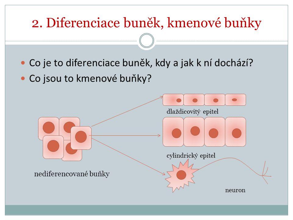 2. Diferenciace buněk, kmenové buňky Co je to diferenciace buněk, kdy a jak k ní dochází? Co jsou to kmenové buňky? dlaždicovitý epitel cylindrický ep