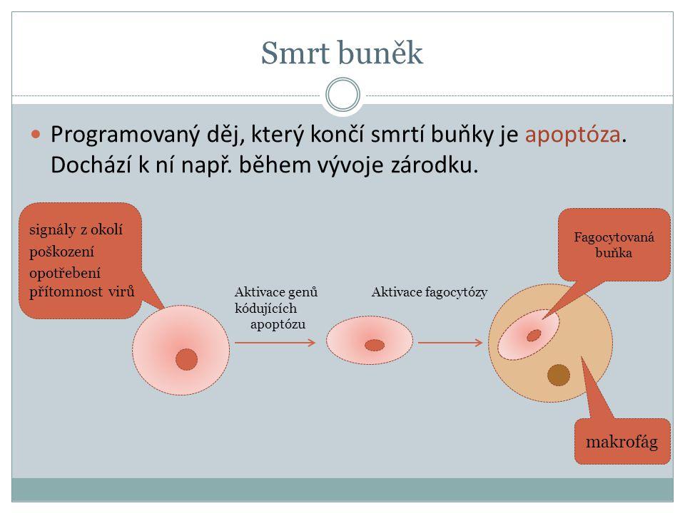 Fagocytovaná buňka makrofág Programovaný děj, který končí smrtí buňky je apoptóza. Dochází k ní např. během vývoje zárodku. signály z okolí poškození