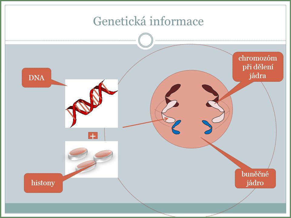 Počty chromozómů Každý biologický druh má charakteristický počet chromozómů v buňce.