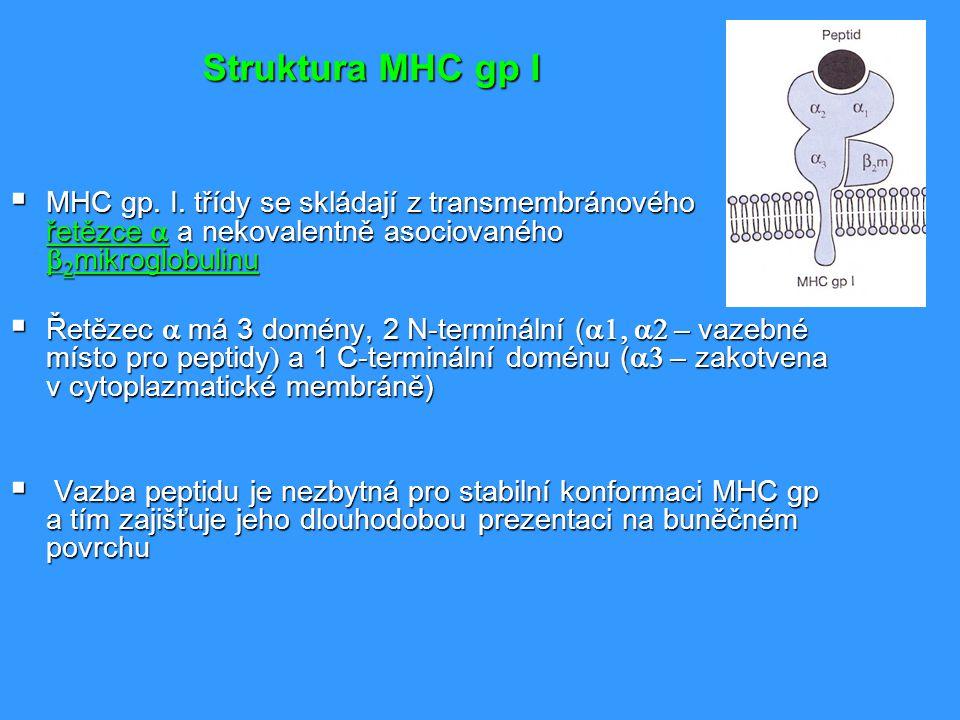 Vazba peptidů na MHC gp I MHC gp I váží peptidy o délce 8 až 10 AKMHC gp I váží peptidy o délce 8 až 10 AK Určitá molekula MHC gp váže peptidy sdílející společné strukturní rysy - vazebný motiv (rozhodující jsou AK poblíž konců peptidu)Určitá molekula MHC gp váže peptidy sdílející společné strukturní rysy - vazebný motiv (rozhodující jsou AK poblíž konců peptidu) K vazbě endogenních peptidů dochází v endoplazmatickém retikulu během biosyntézy MHC gp.K vazbě endogenních peptidů dochází v endoplazmatickém retikulu během biosyntézy MHC gp.