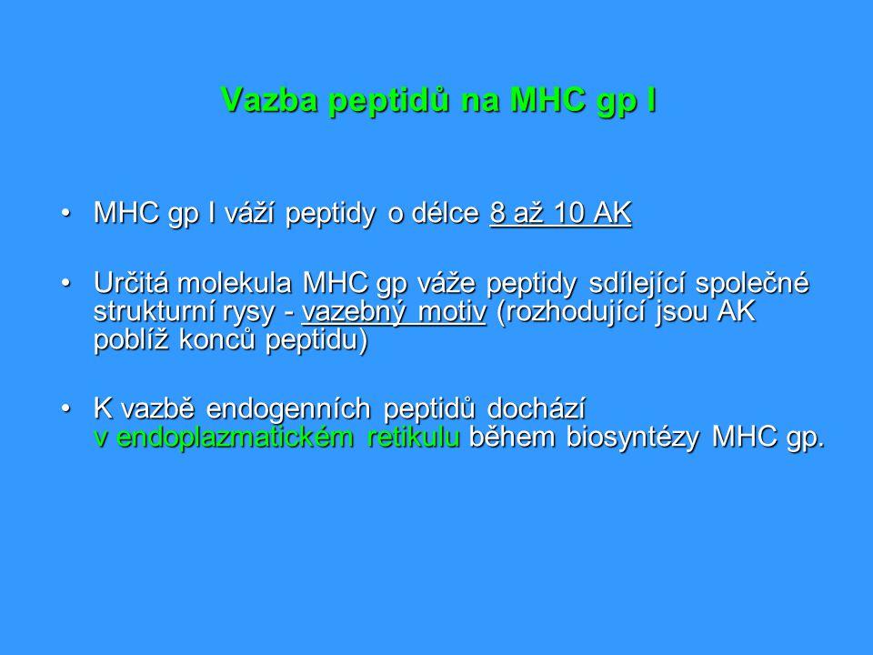 Vazba peptidů na MHC gp I MHC gp I váží peptidy o délce 8 až 10 AKMHC gp I váží peptidy o délce 8 až 10 AK Určitá molekula MHC gp váže peptidy sdílejí