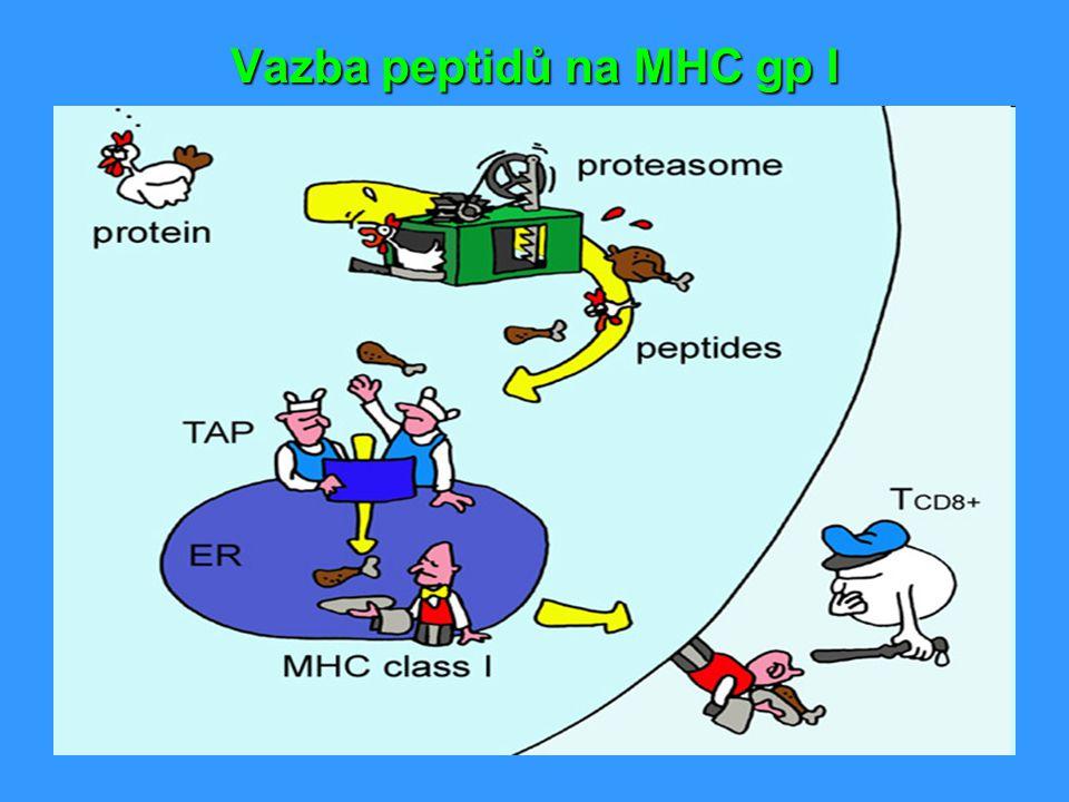 Neklasické MHC gp.