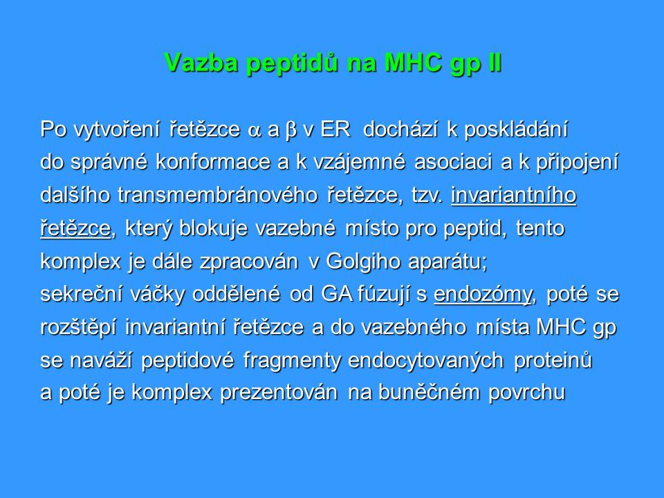 Vazba peptidů na MHC gp II Po vytvoření řetězce  a  v ER dochází k poskládání do správné konformace a k vzájemné asociaci a k připojení dalšího t
