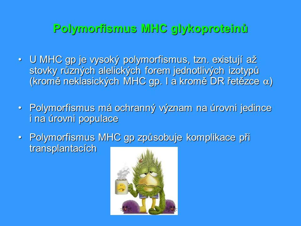Polymorfismus MHC glykoproteinů U MHC gp je vysoký polymorfismus, tzn. existují až stovky různých alelických forem jednotlivých izotypů (kromě neklasi