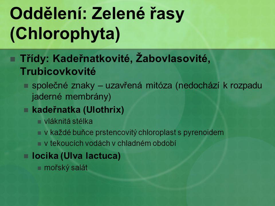 Oddělení: Zelené řasy (Chlorophyta) Třídy: Kadeřnatkovité, Žabovlasovité, Trubicovkovité společné znaky – uzavřená mitóza (nedochází k rozpadu jaderné