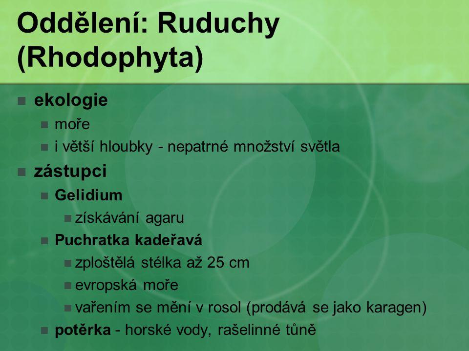 Oddělení: Ruduchy (Rhodophyta) ekologie moře i větší hloubky - nepatrné množství světla zástupci Gelidium získávání agaru Puchratka kadeřavá zploštělá