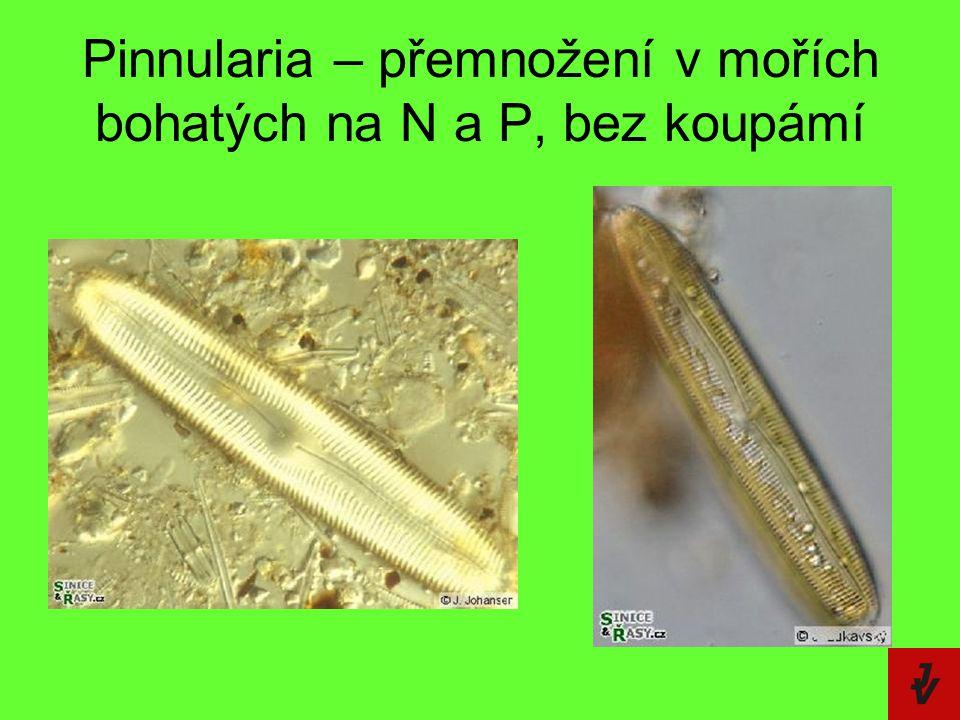 Pinnularia – přemnožení v mořích bohatých na N a P, bez koupámí